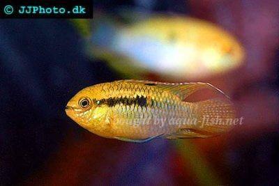 Dwarf flag cichlid - Laetacara curviceps