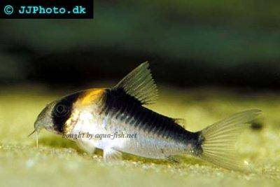 False adolfoi cory - Corydoras duplicareus