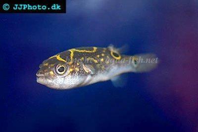 Information on caring for Figure eight puffer (Tetraodon biocellatus ...