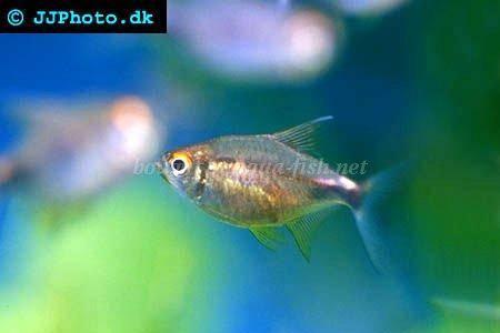 Garnet tetra - Hemigrammus pulcher