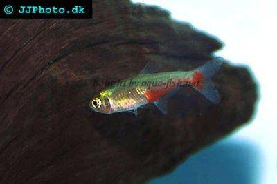 Green fire tetra - Aphyocharax rathbuni