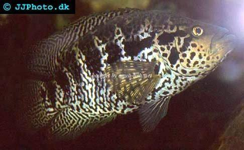 An Article And Forum On Keeping Jaguar Cichlids Their