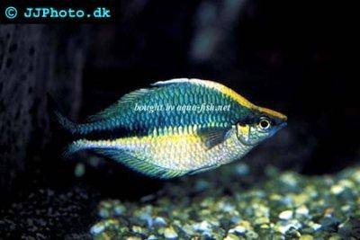 Lake kutubu rainbowfish - Melanotaenia lacustris
