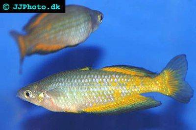 Parkinsoni rainbowfish - Melanotaenia parkinsoni