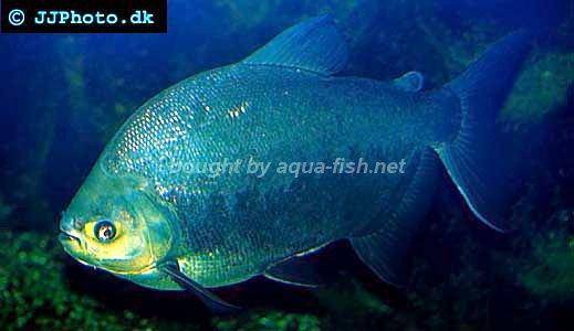 Red bellied pacu, picture 2