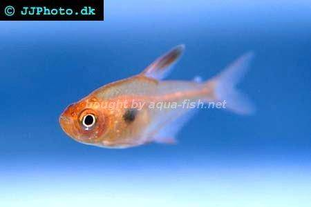 guide on keeping Red phantom tetra (Hyphessobrycon sweglesi) with ...