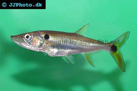 Red Tail Barracuda : profile of Red-tail barracuda (Acestrorhynchus altus)