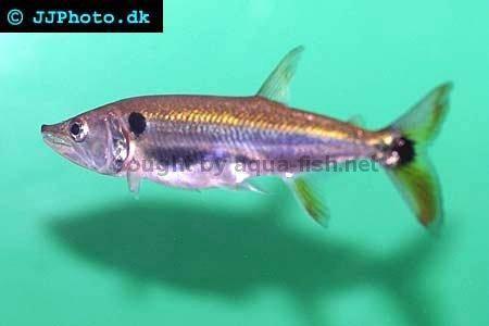 profile of Red-tail barracuda (Acestrorhynchus altus)