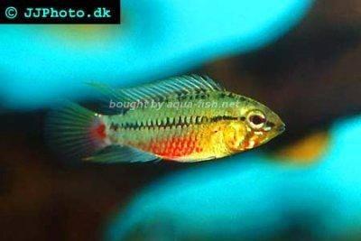 ... and reproduction of Redstripe dwarf cichlids (Apistogramma hongsloi