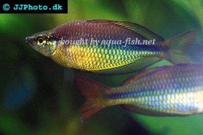 Regal rainbowfish - Melanotaenia trifasciata