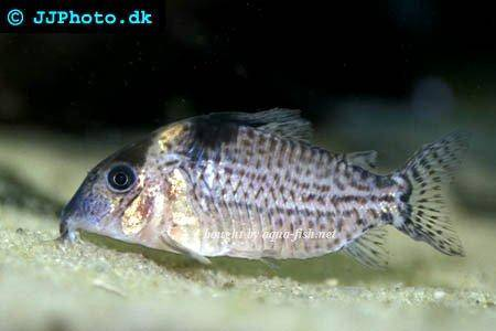 guide on keeping Spotted corys (Corydoras ambiacus)