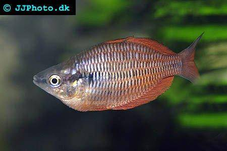 A detailed guide on raising sunset dwarf rainbowfish for Rainbow fish care