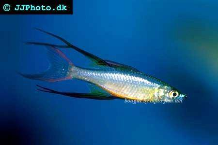 How to care for threadfin rainbowfish iriatherina werneri for Rainbow fish care