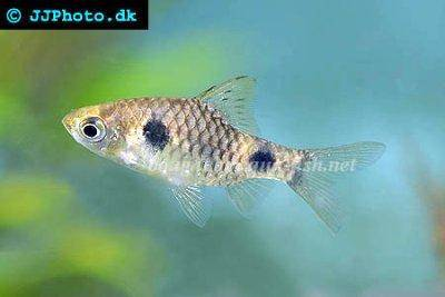 Two spot barb - Puntius cumingii