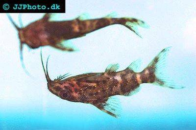 Upside-down catfish - Synodontis nigriventris