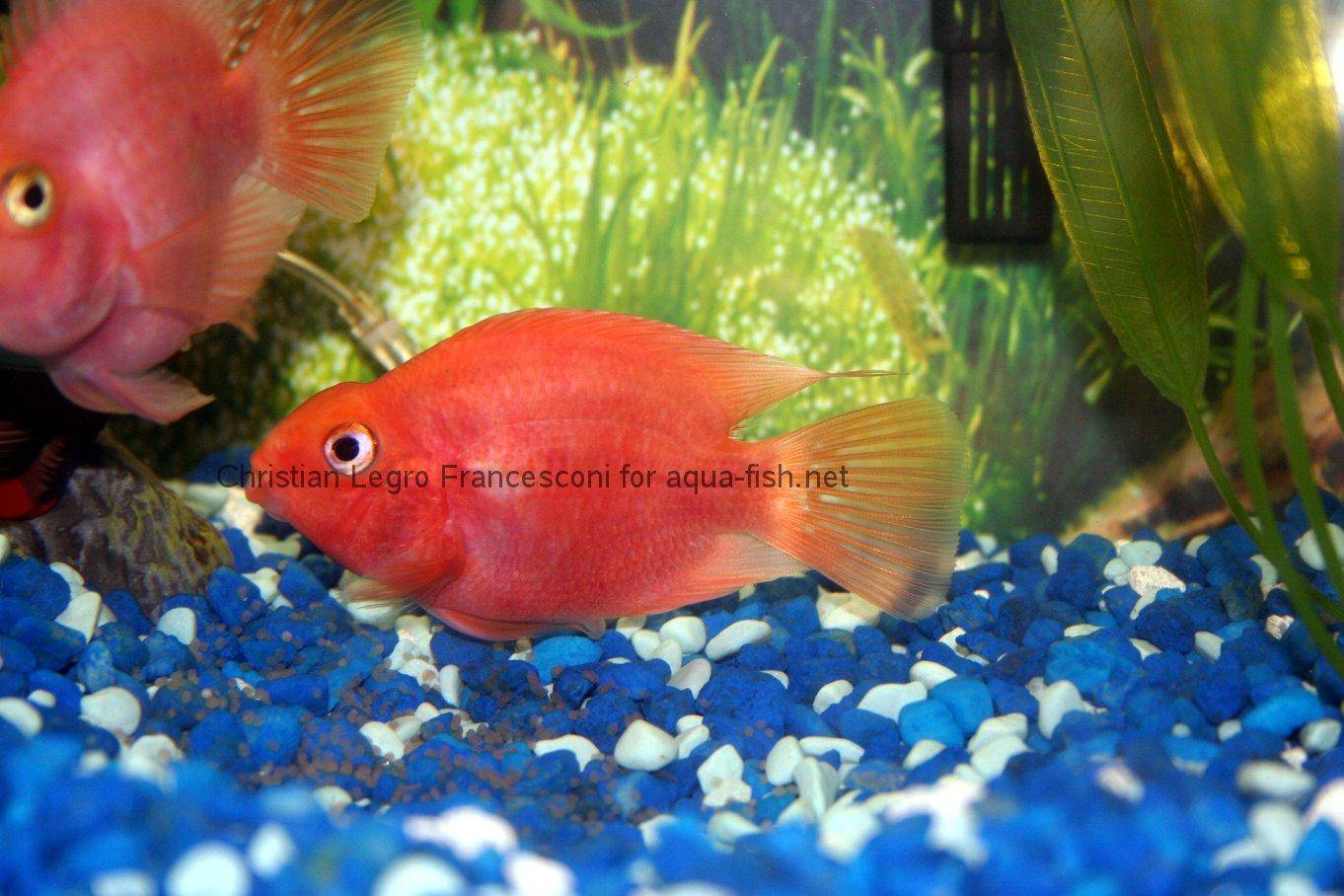 A page and forum devoted to keeping Blood parrot cichlids