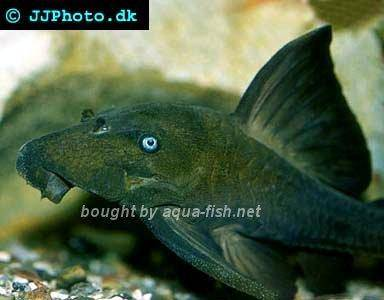A Profile Of Blue Eyed Pleco Panaque Cochliodon With Images