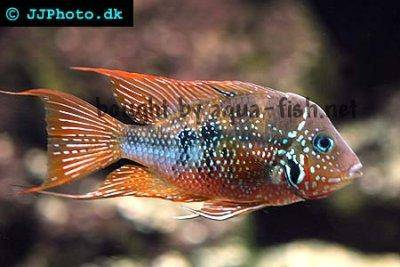 Blue flash - Thorichthys aureus