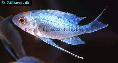 Blue goldtip cichlid - Ophthalmotilapia ventralis