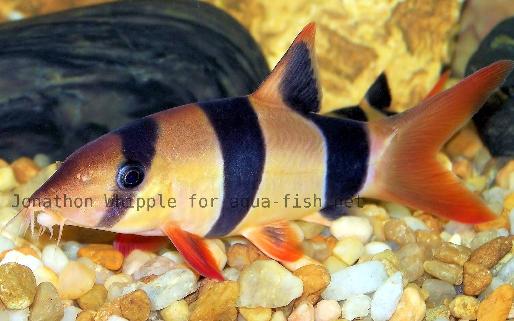 Information and discussion on caring for clown loach for Clown fish care