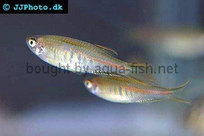 Glowlight danio - Danio choprai