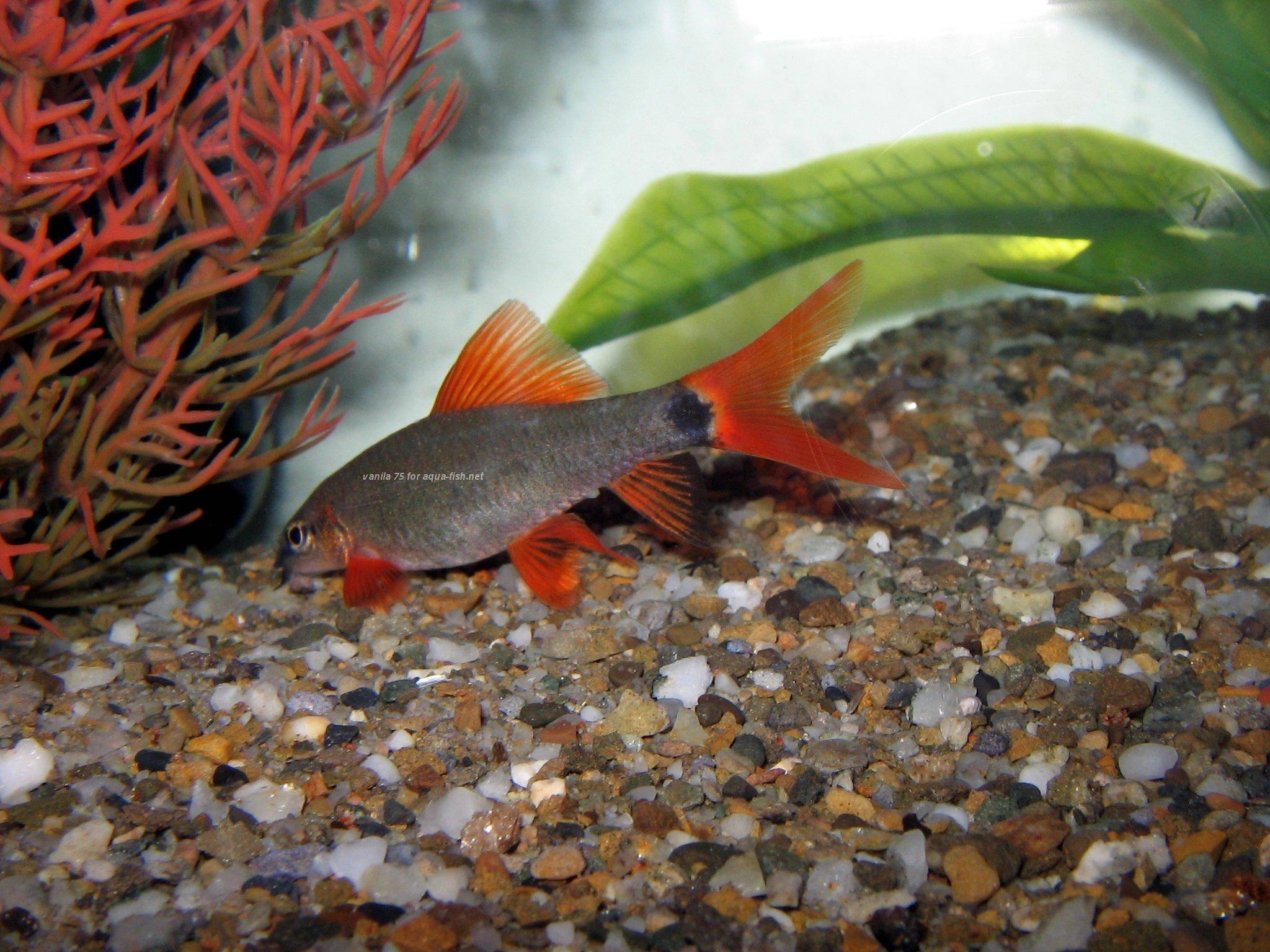 Information on raising labeo frenatus epalzeorhynchus for Rainbow shark fish