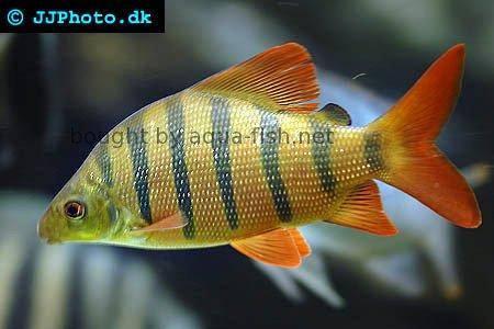 Longsnout distichodus (Distichodus lusosso)