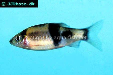 Melon barb - Puntius fasciatus