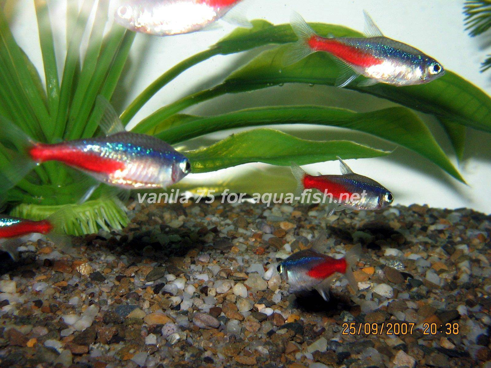 Neon tetra for sale aquariumfish net -  Neon Tetra Picture 5