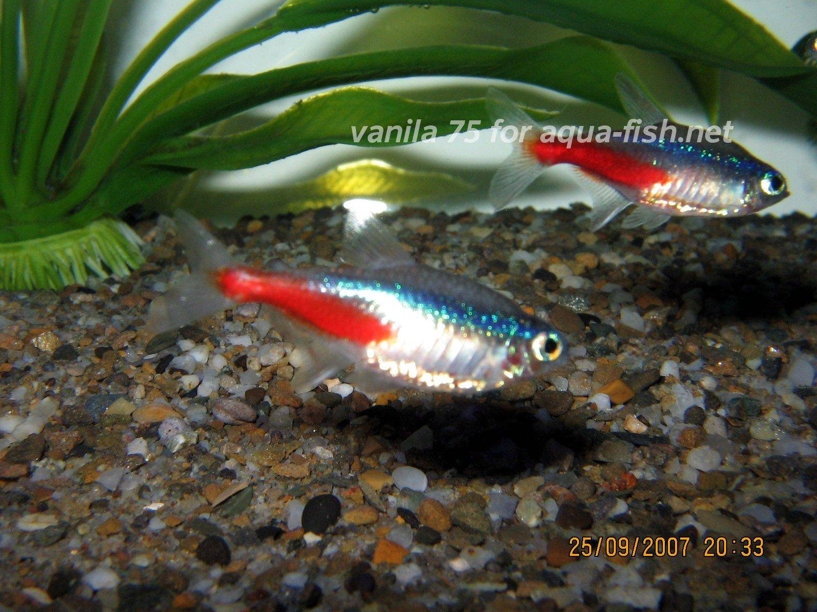 Article and forum on caring for neon tetras including diet for Fish breeding net