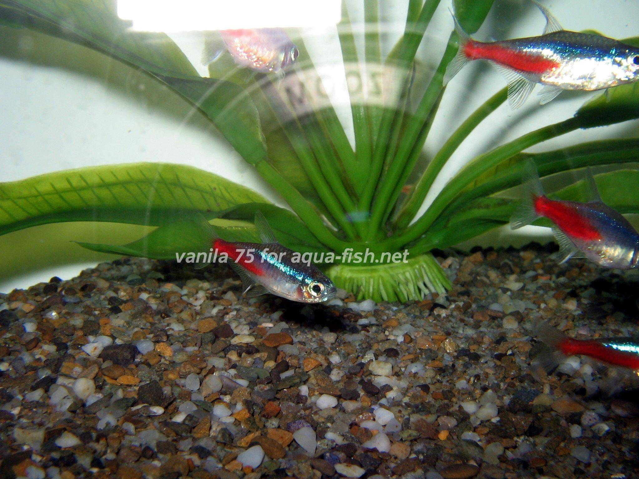 Neon tetra for sale aquariumfish net -  Neon Tetra Picture 8