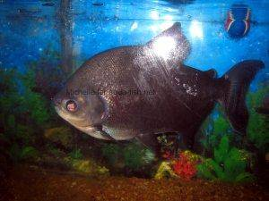 Pacu fish, picture 3