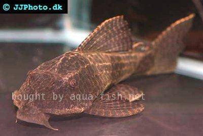 Pleco catfish - Hypostomus borellii