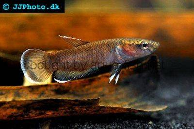 Snakehead fighter - Betta channoides