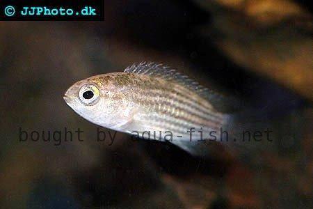 Striped dwarf cichlid (Nannacara taenia)