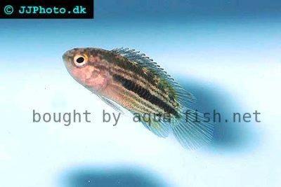 Striped dwarf cichlid - Nannacara taenia
