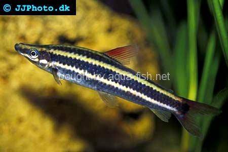 An article on raising Striped headstanders (Anostomus anostomus)