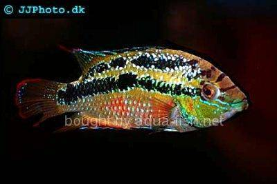 Yellow belly cichlid - Cichlasoma salvini