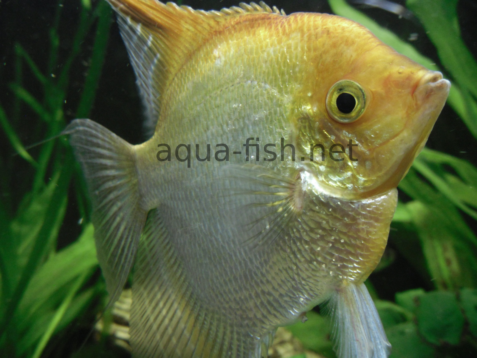 Freshwater Angelfish - A guide and forums on care