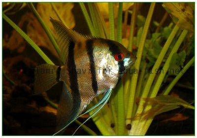 Angelfish - Picture 5