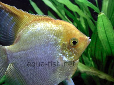 Angelfish picture no. 3