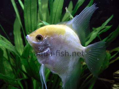 Angelfish picture no. 4