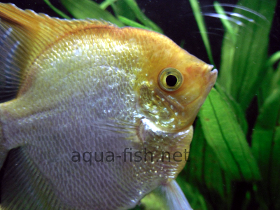 Angelfish picture no. 5