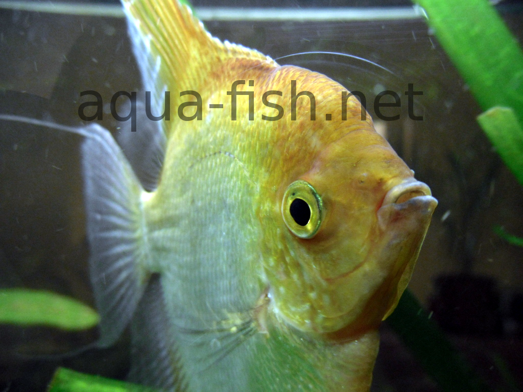 Angelfish: breeding at home and care 70