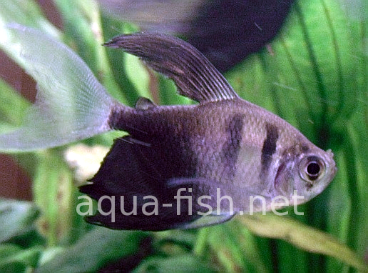 Black skirt tetras - long fin, picture 2
