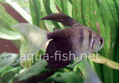Black skirt tetras - long fin, picture 1