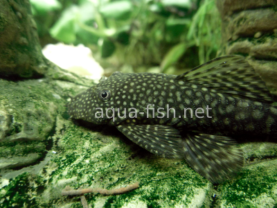 Bristlenose catfish detailed picture 2