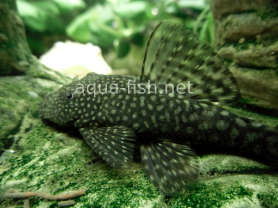 Bristlenose catfish detailed picture 3