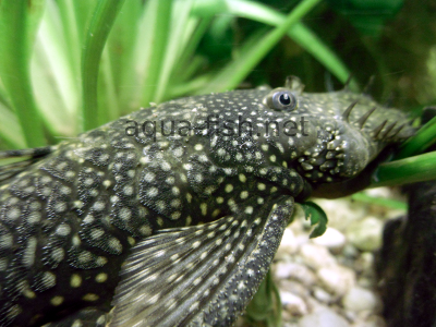 Bristlenose catfish detailed picture 6