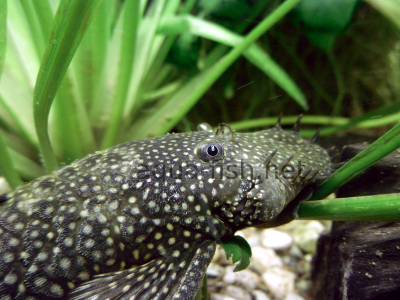 Bristlenose catfish detailed picture 7